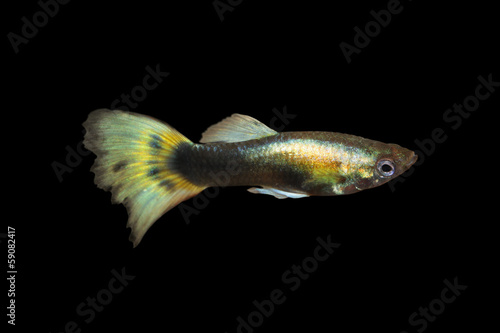 Guppy Freshwater Aquarium Fish Buy This Stock Photo And Explore