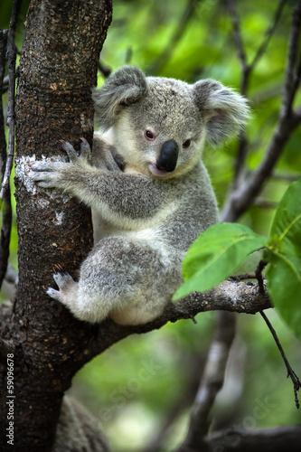 Foto op Aluminium Koala Koala - Jungtier auf Magnetic Island in Australien
