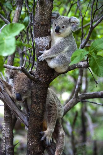 Garden Poster Koala Koalabär mit Jungtier auf Magnetic Island in Australien
