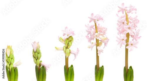 Foto  hyacinth opening