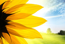 Sunflower Flower Over Summer Field Landscape