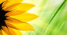 Sunflower Over Green Grass Background