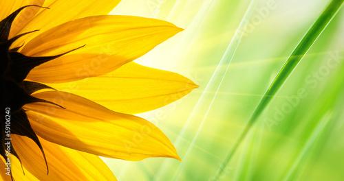 In de dag Zonnebloem Sunflower over green grass background