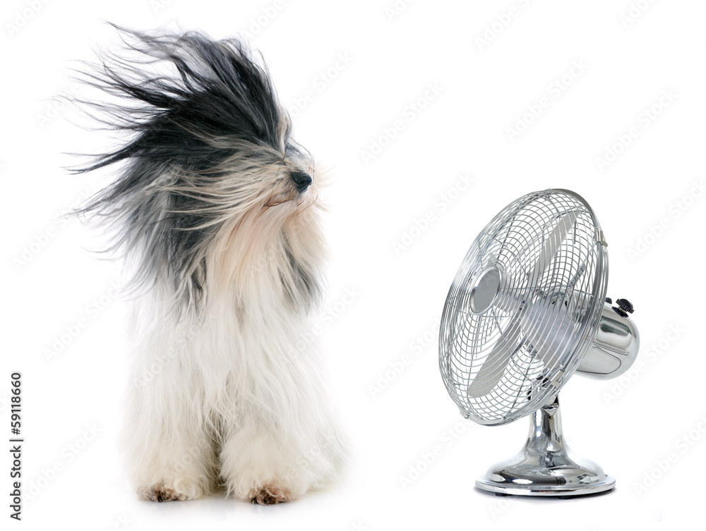 Fototapeta tibetan terrier and fan
