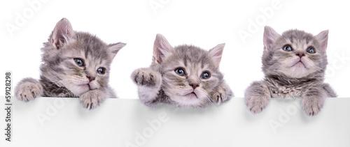 trzy-szkockie-kociaki-na-bialym-tle