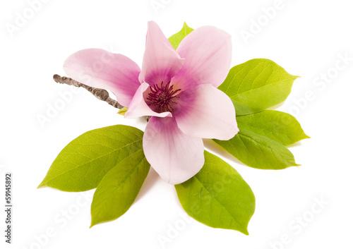 Magnolia magnolia