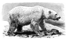 Polar Bear - Ours Blanc