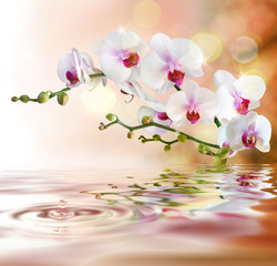 Fototapetawhite orchids on water with drop