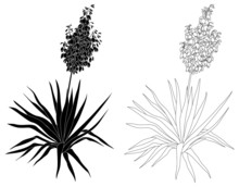 Plant Yucca, Contours And Silh...