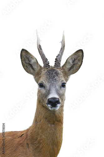 Photo sur Aluminium Roe Roe deer buck portrait