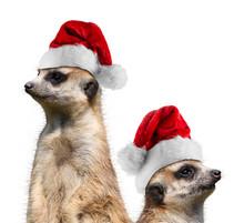Meerkats Santa Hat