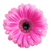 Pink Gerbera Flower With Water Drops Isolated On White