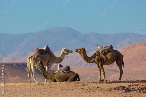 Poster Maroc Moroccan camels