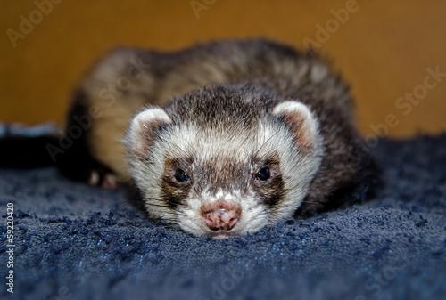 Fotografering  Cute ferret looking at camera