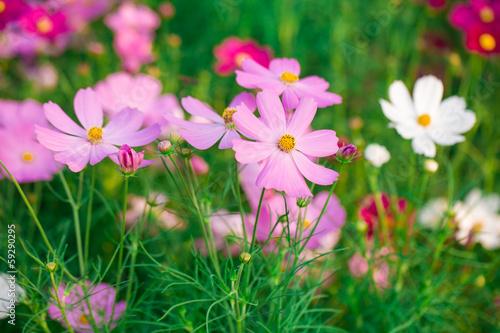 Stickers pour porte Pierre, Sable Pink Cosmos flower family compositae