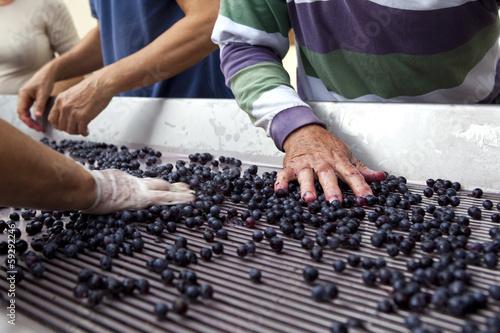 Fotografía  Tri du raisin après la vendange