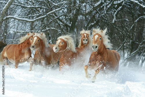 Batch of haflingers together in winter Canvas Print