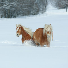 Two beautiful haflingers with long mane moving together in a lot