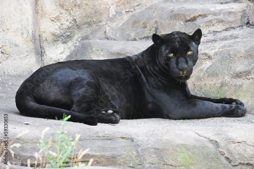 Foto op Canvas Panter Black panther
