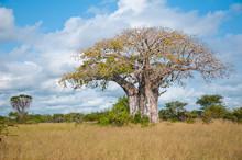 Huge Baobab In Tanzania - Nati...
