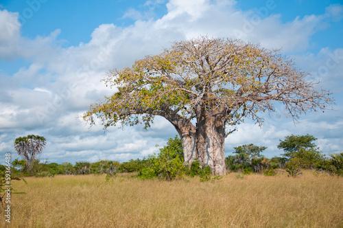 Keuken foto achterwand Baobab huge baobab in tanzania - national park saadani