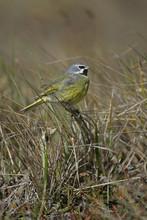 Black-throated Finch, Poephila Cincta