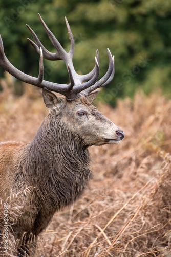 Deurstickers Hert Red deer stag during rutting season in Autumn