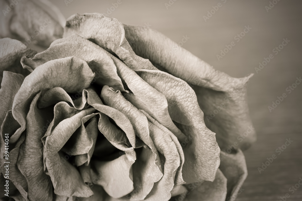 Black and white image of old dead rose
