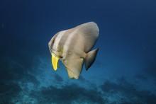Longfin Batfish (Platax Teira)...