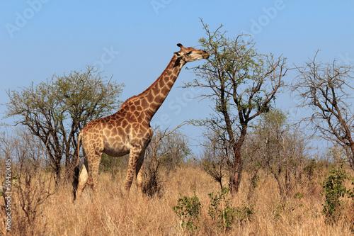 Fotografie, Obraz  Giraffe