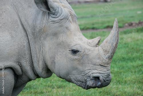 Fotografie, Obraz  African rhino on a grass field
