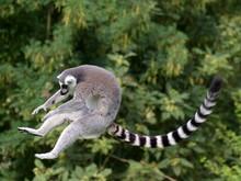 Jumping Ring-tailed Lemur