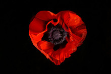 Red Poppy Flower On A Black Background