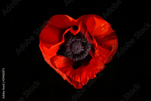 Obraz red poppy flower on a black background - fototapety do salonu