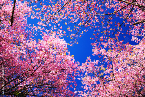 Photo sur Toile Fleur de cerisier Pink Sakura Cherry Blossom Flowers in Spring Season