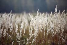 Sedge Grass Autumn Back Background