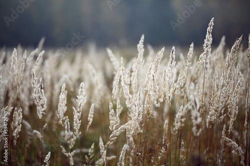 sedge grass autumn back background - 59472890