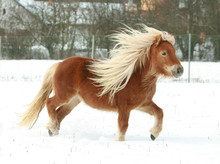 Gorgeous Shetland Pony With Lo...