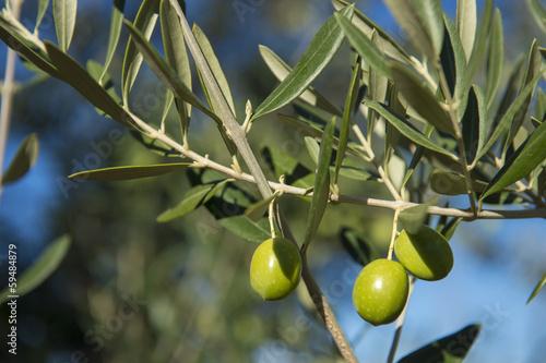 Tuinposter Olijfboom Olives on olive tree in autumn. Season nature image