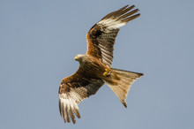Red Kite With Prey