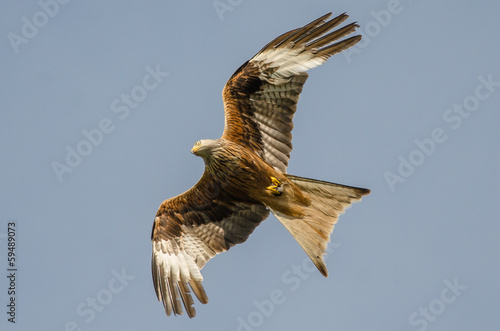 Photo  Red kite with prey