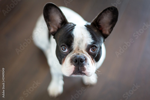 Poster Bouledogue français French bulldog sitting on the floor