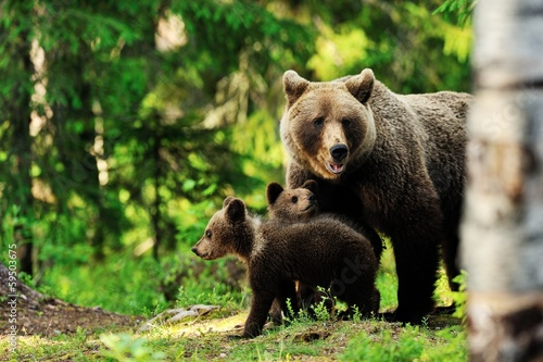 Brown bear family in forest