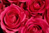 Pąki róży