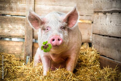 Fotografie, Obraz  Lucky Pig