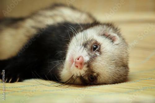 Fototapeta Funny ferret on bamboo mat