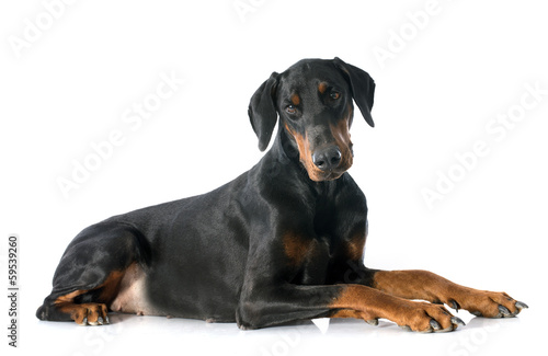 Photographie doberman pinscher