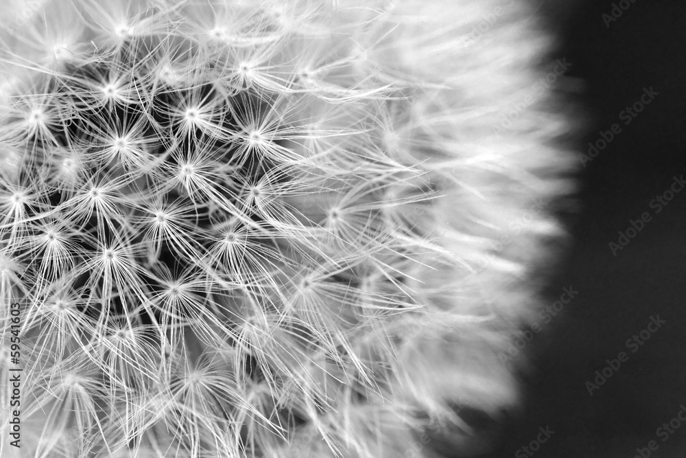 Fototapeta The Dandelion background.
