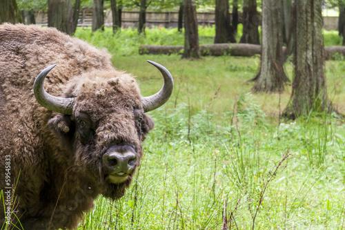Vászonkép Bialowieski National Park - Poland. Aurochs head.