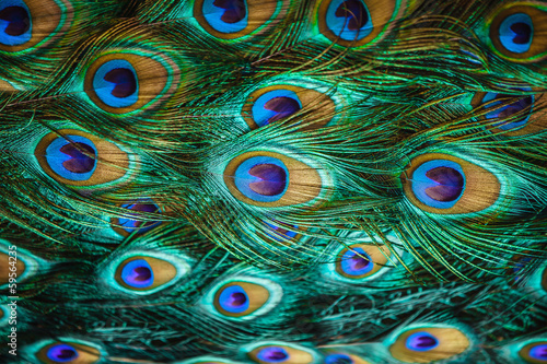 Stickers pour porte Paon Colorful peacock feathers,Shallow Dof